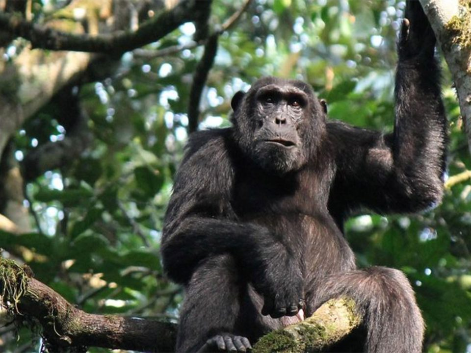 Chimpanzee habituation in Congo