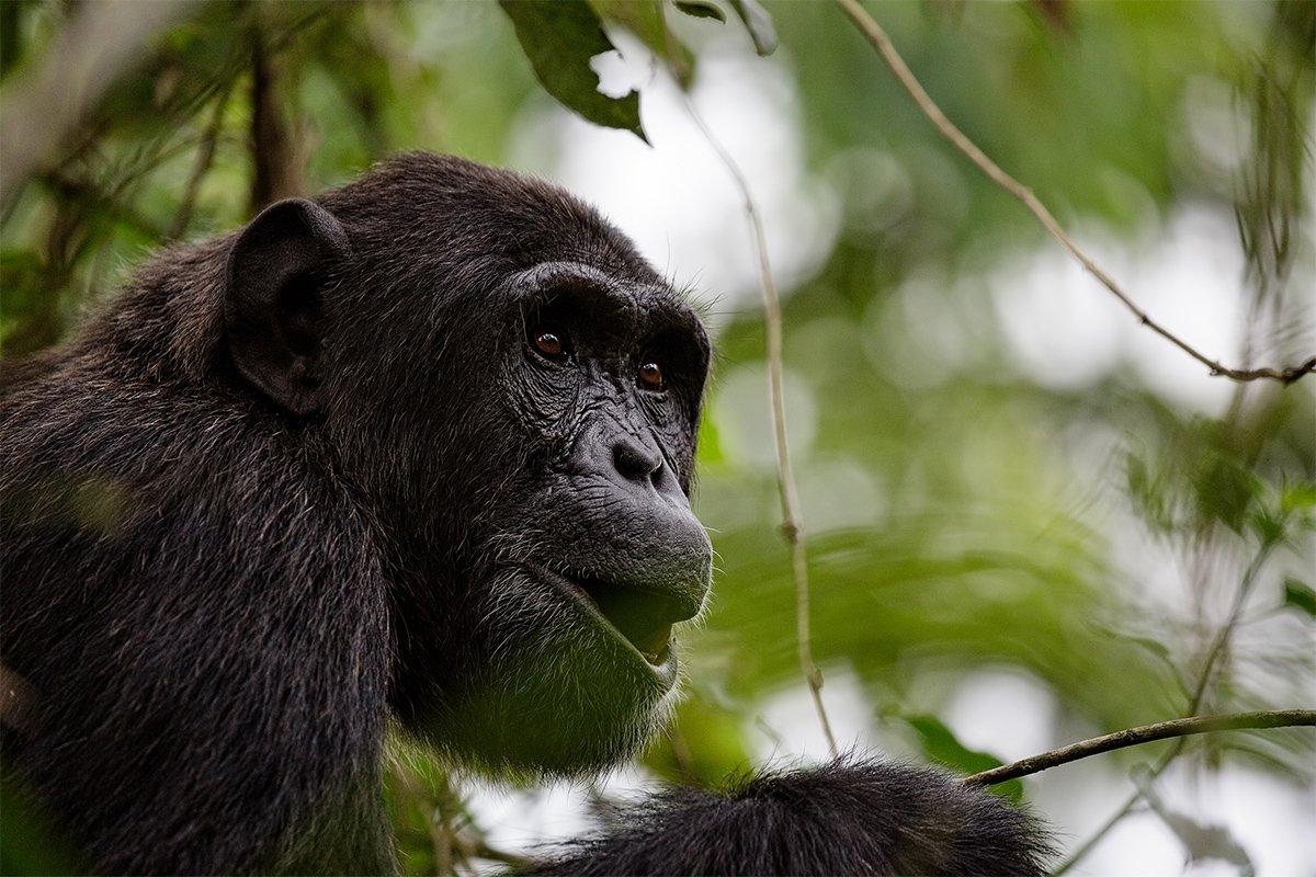3 Days Uganda chimpanzee habituation experience
