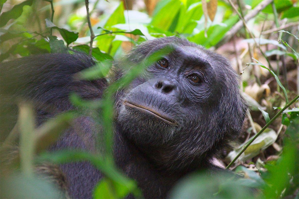Chimpanzee trekking price and cost