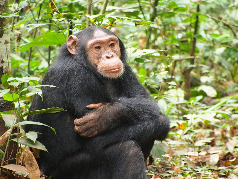 3 Days Kiabel forest chimpanzee trekking safari
