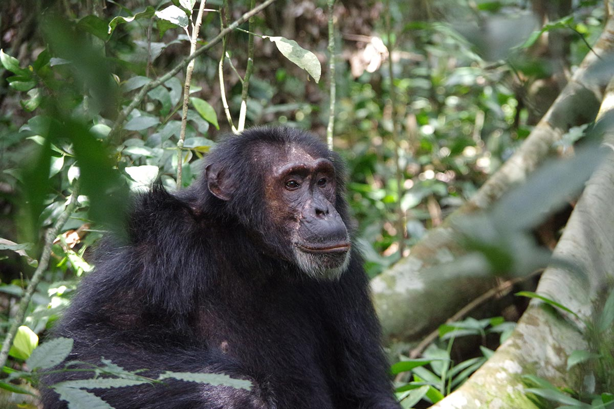 Chimpanzee permits, Chimpanzee safaris Uganda
