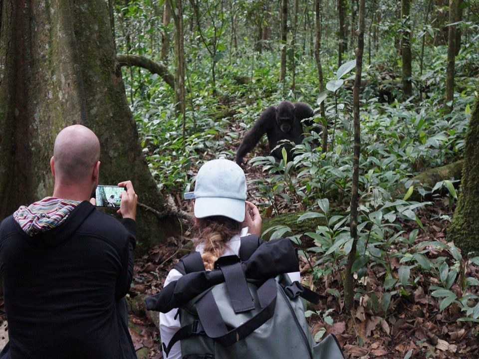 Chimpanzee trekking price increase
