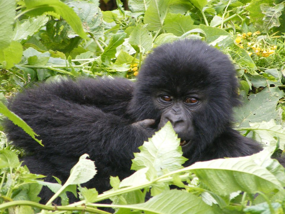 Climate changes and Rwanda gorilla conservation