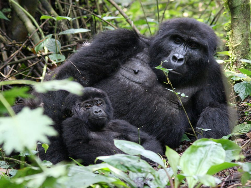 Early bird gorilla tracking in Uganda