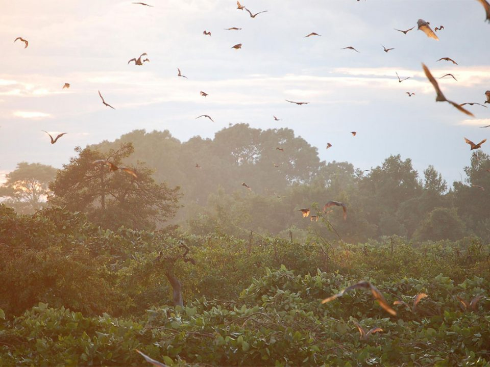 Explore the largest strw coloured fruit bat migration