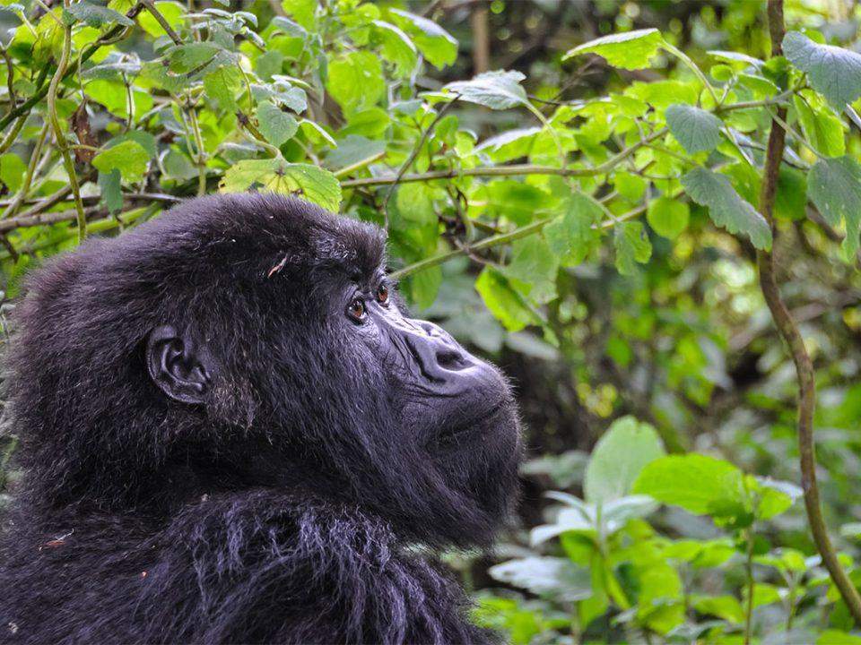 Festive season discounted gorilla permits in Uganda