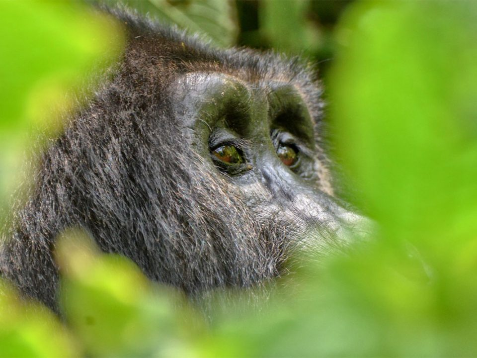 Uganda gorilla and chimpanzee safari for 5 days