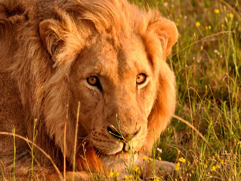 Filming Lions in Uganda
