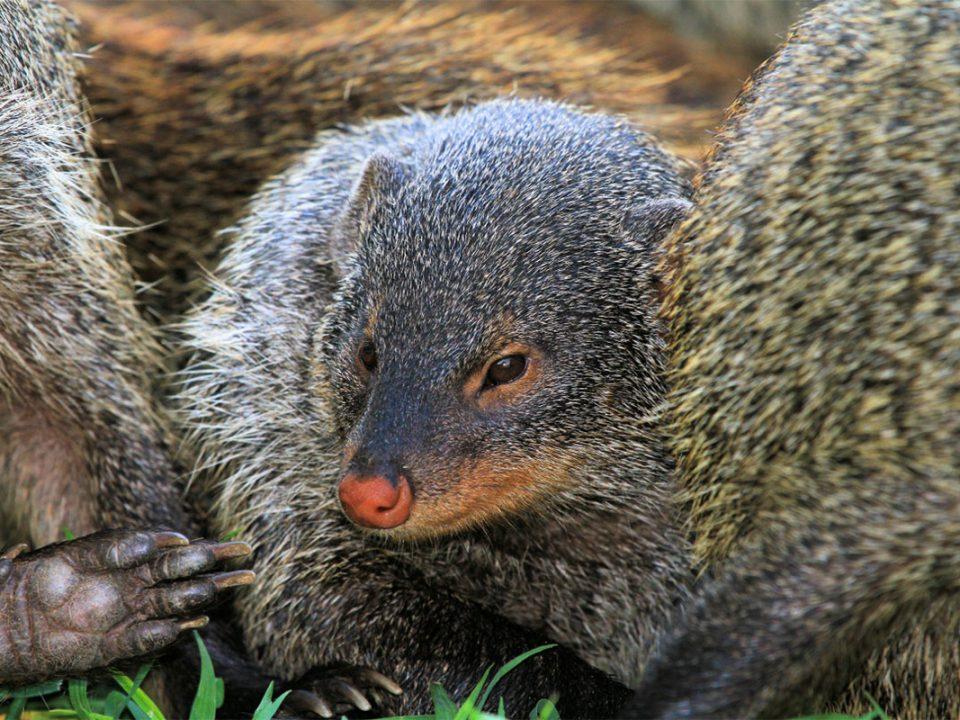 Filming Mongoose in Uganda