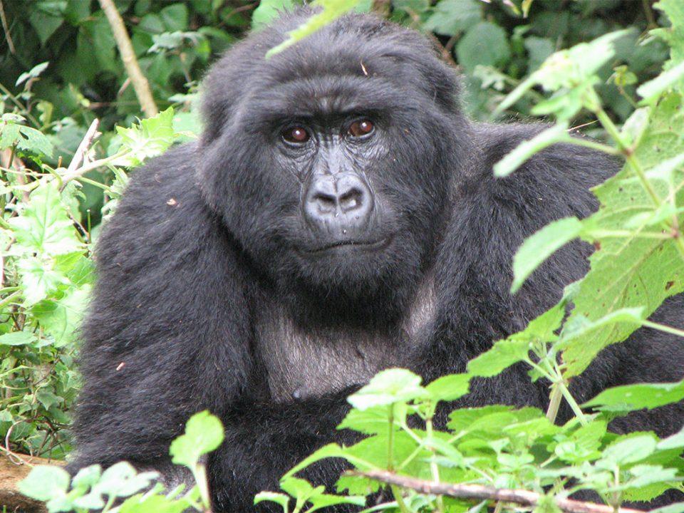 Flying safari to Mgahinga gorilla national park