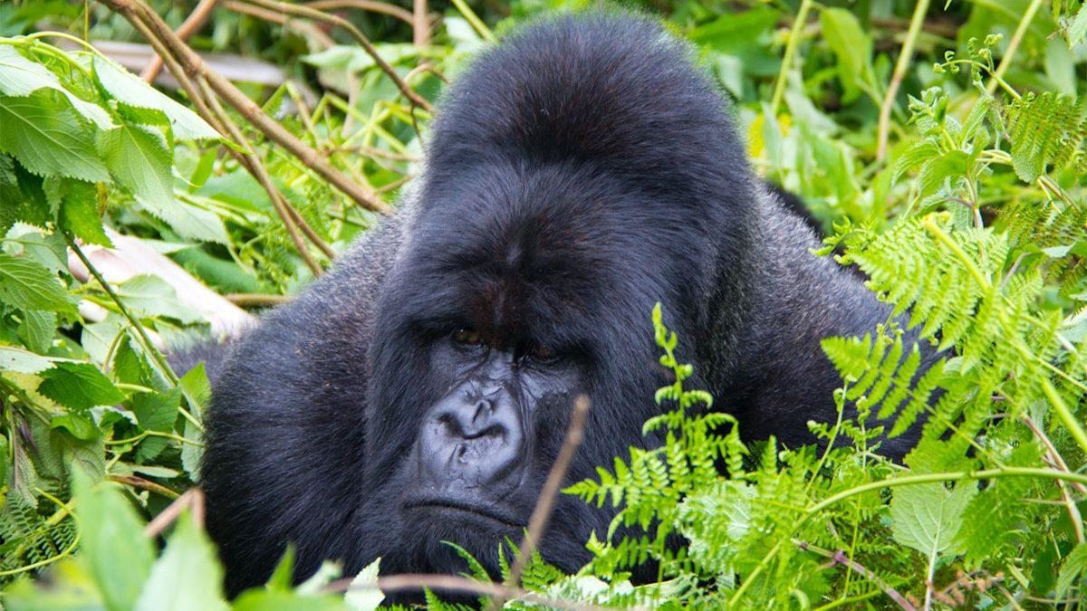 Four hour gorilla habituation experience