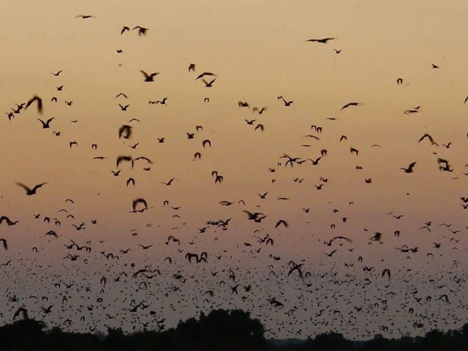 The biggest fruit bat migration in Kasanka
