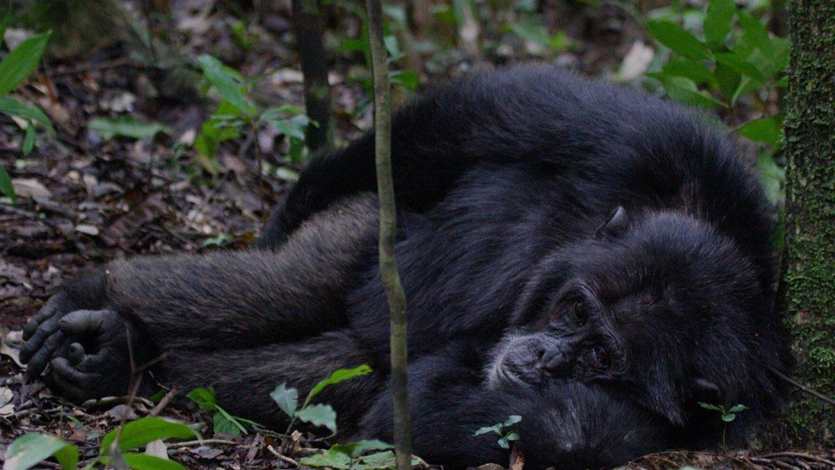Chimpanzees of Kibale Forest, Great Adventure Safaris