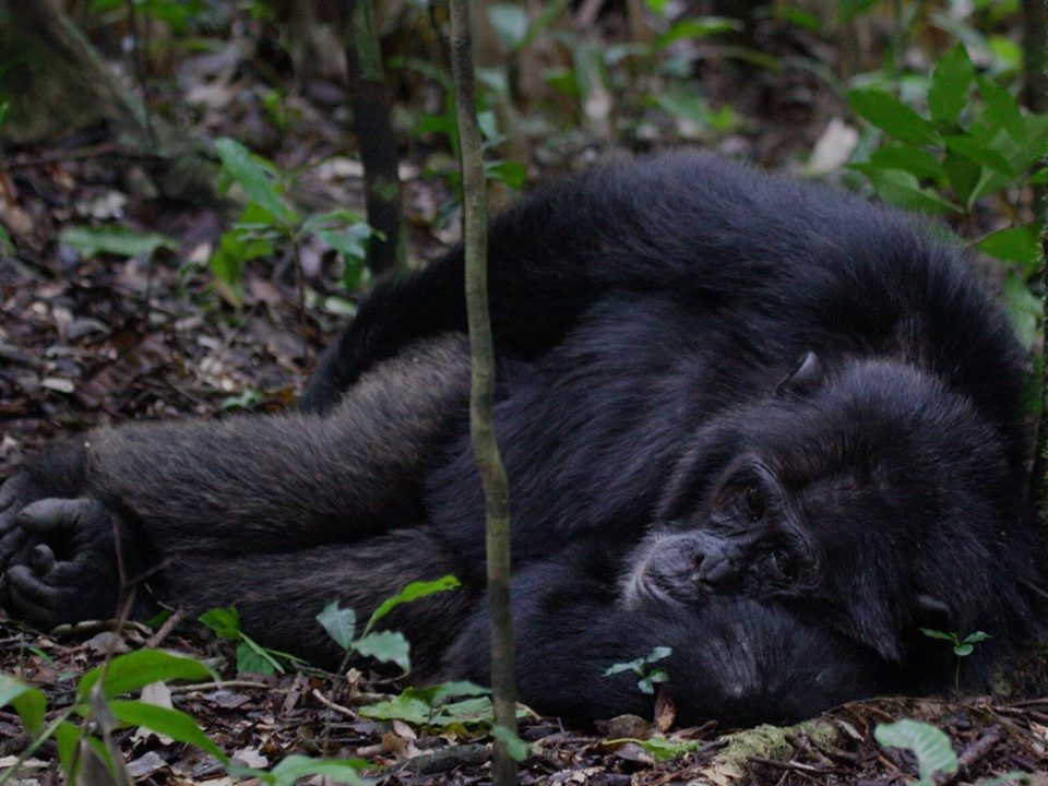 Chimpanzees of Kibale Forest, Great Adventure Safaris