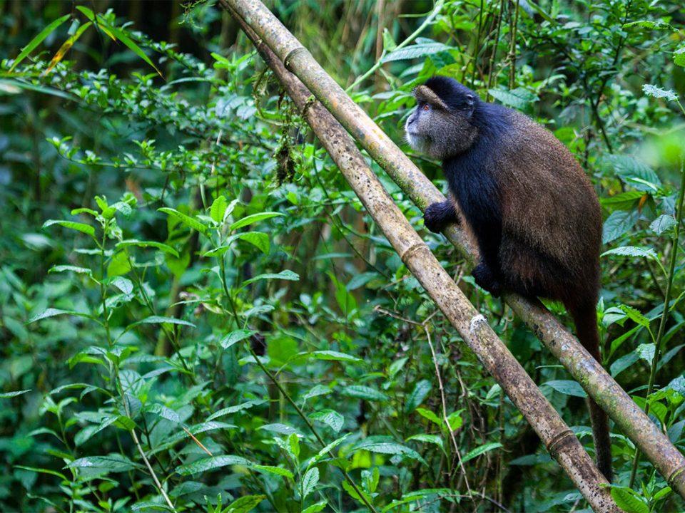 Golden monkey experiential safari