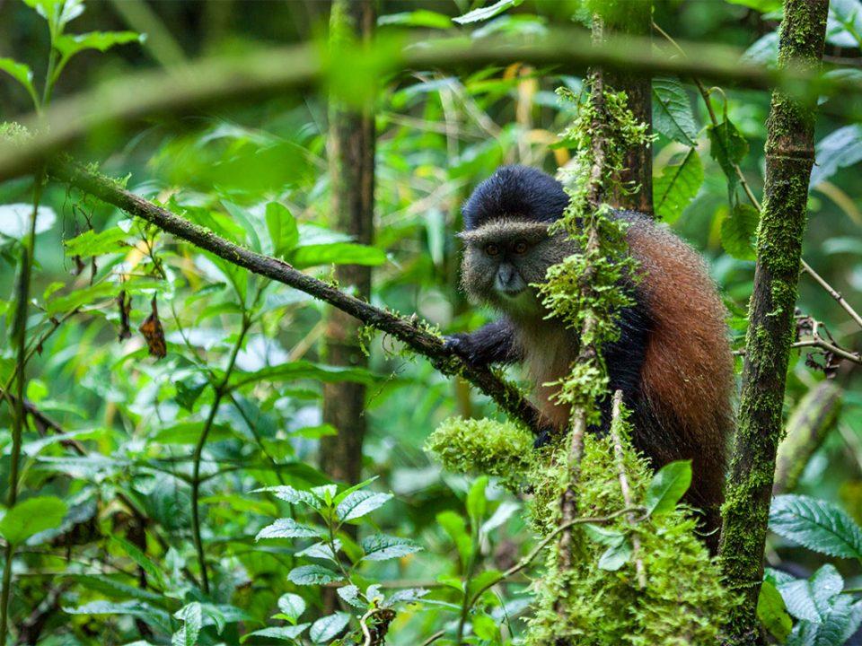 Golden Monkey tracking