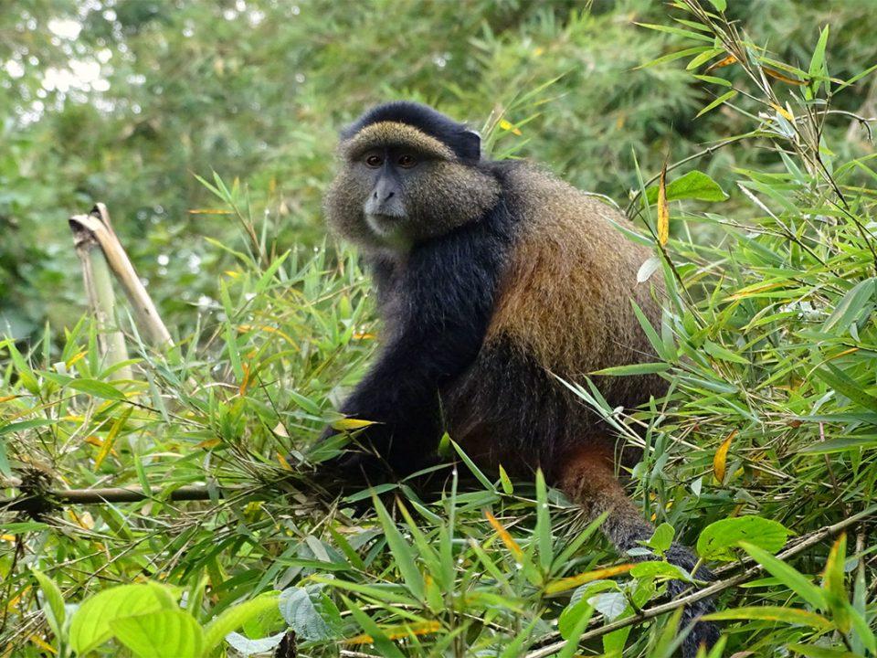 Golden monkey safaris in Uganda
