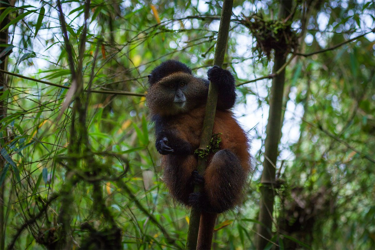 Golden onkey tracking in Mgahinga Natonal Park
