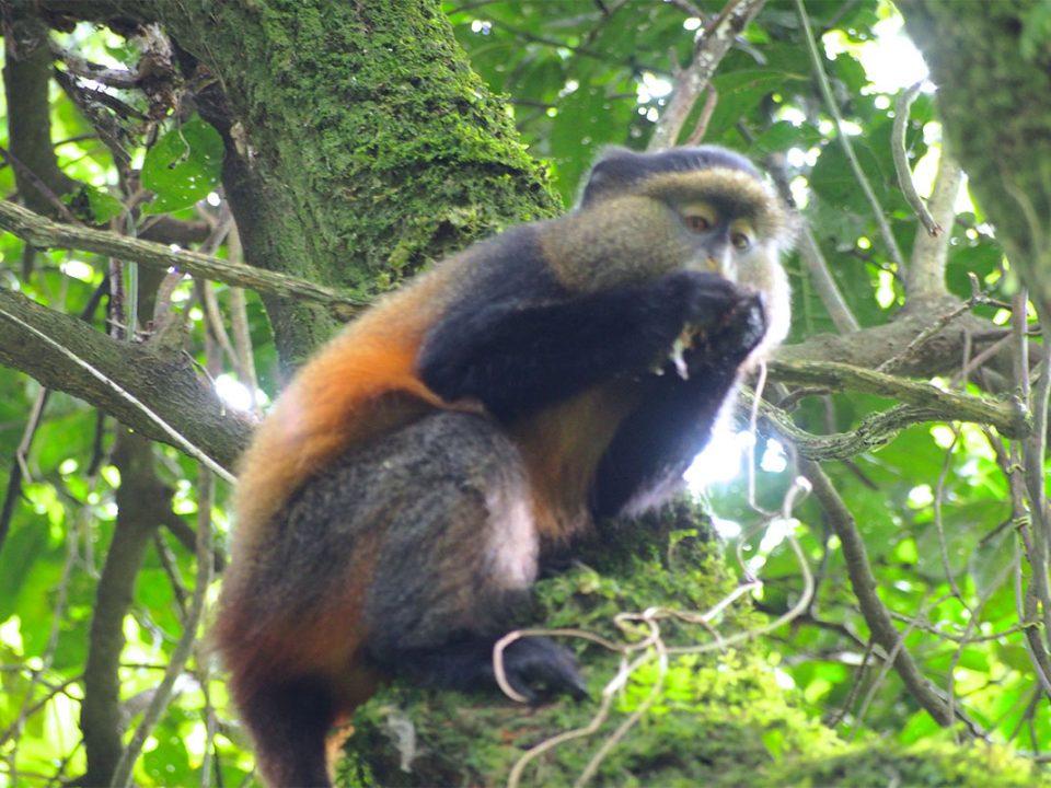 Golden monkey treks in Uganda