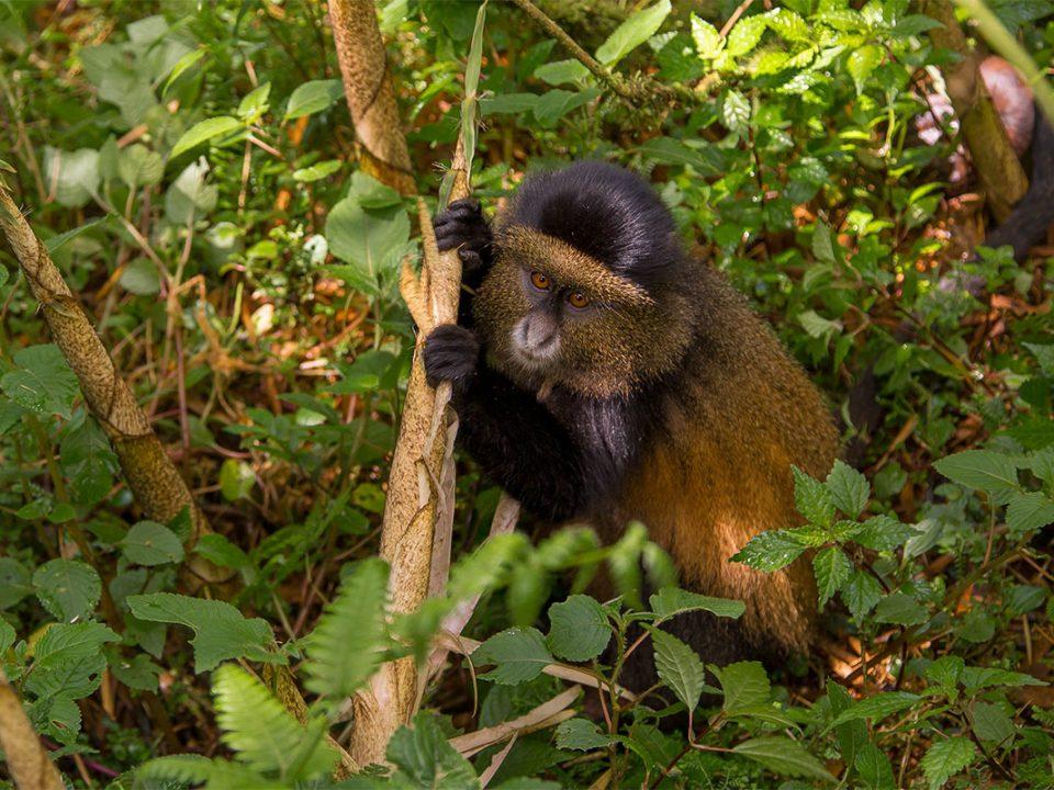 Golden monkey tracking in Uganda and Rwanda