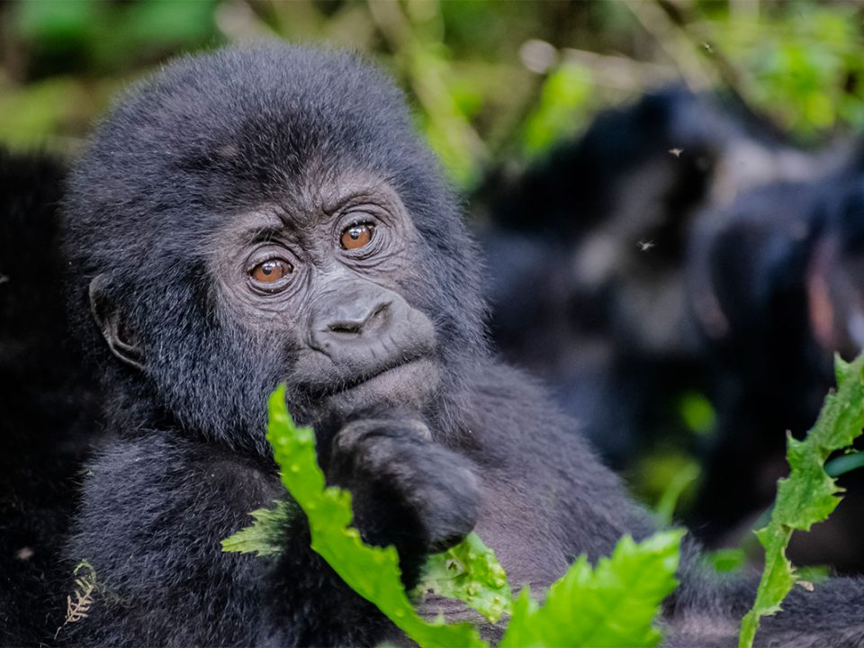 gorilla & chimpanzee photography safaris