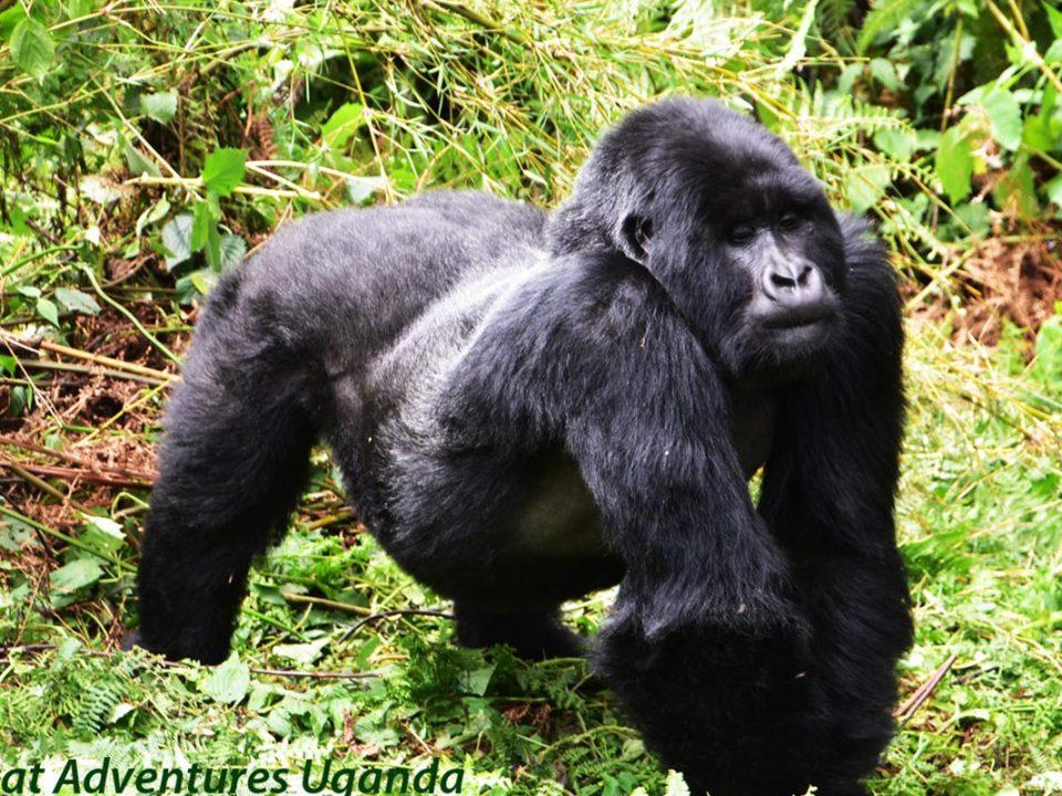 Uganda Gorilla families,Great Adventures Uganda