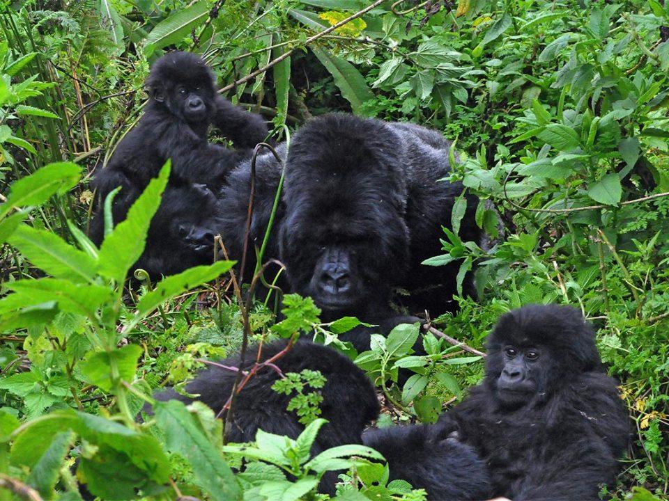 Gorilla habituation experience 2020-2021