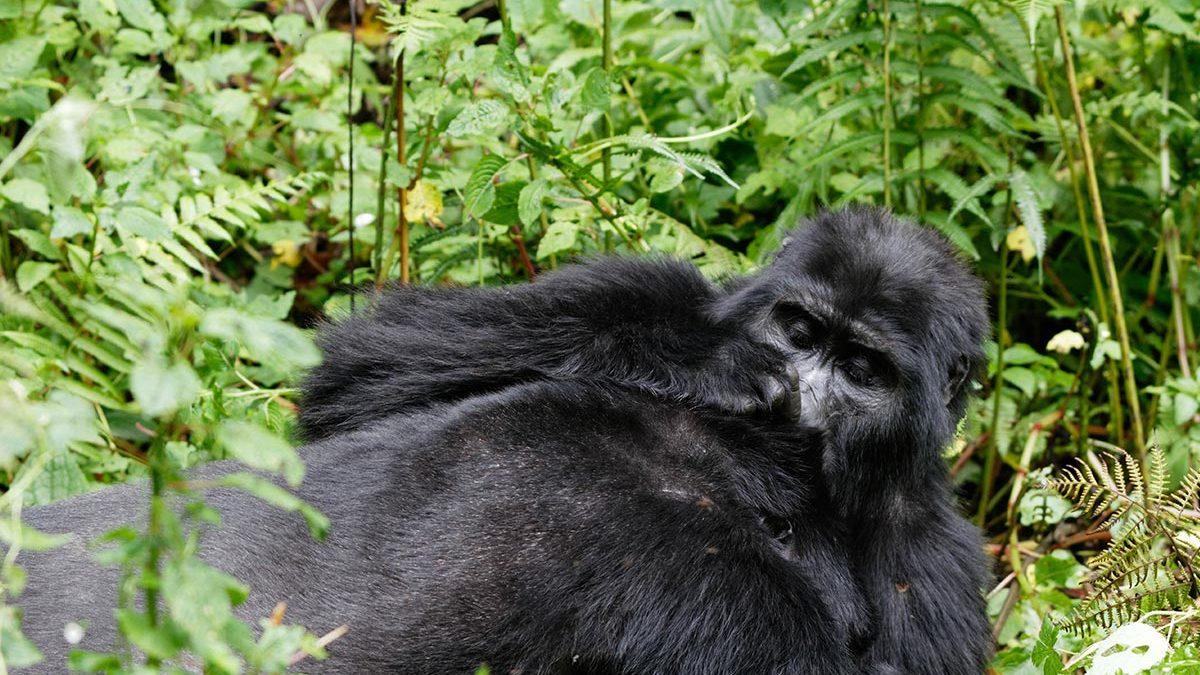 gorilla habituation process in Uganda