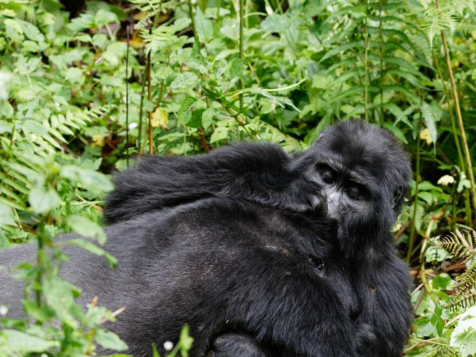 gorilla habituation process in Uganda