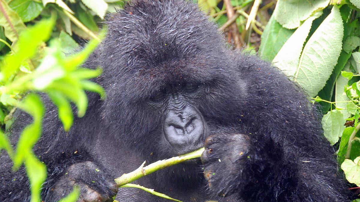 Gorilla habituation experience permits