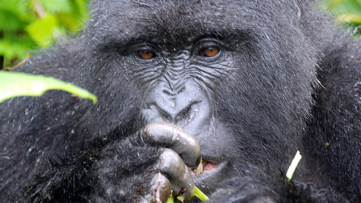 Gorilla permits 2021-2022 Budget Gorilla trekking