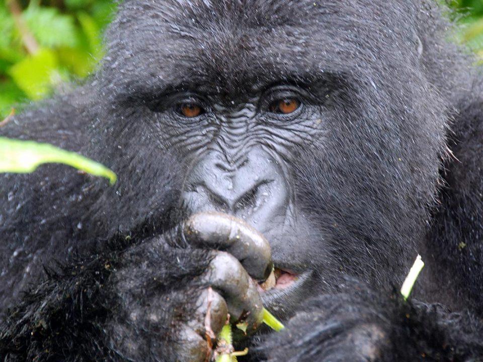 Gorilla permits, Budget Gorilla trekking
