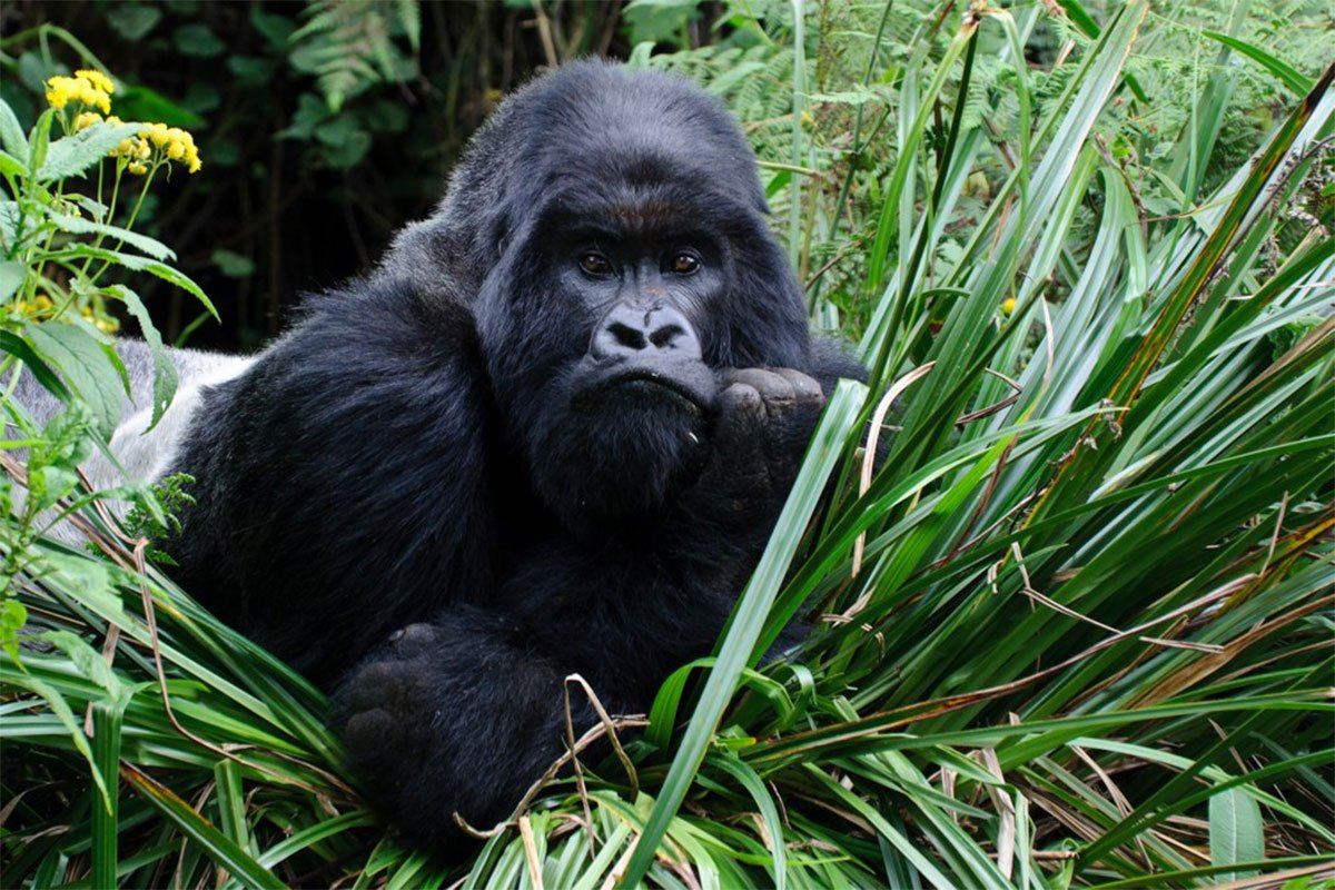 Gorilla permits frequently asked questions