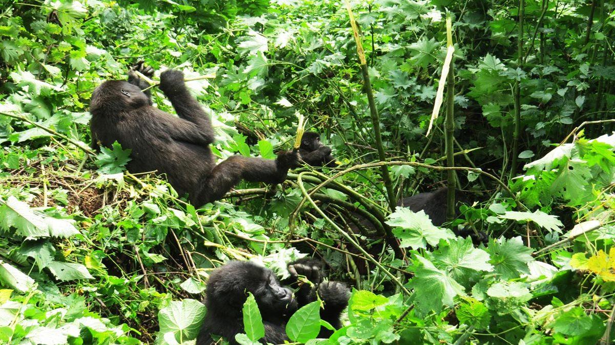 Uganda safaris and tours, Gorilla trekking Uganda