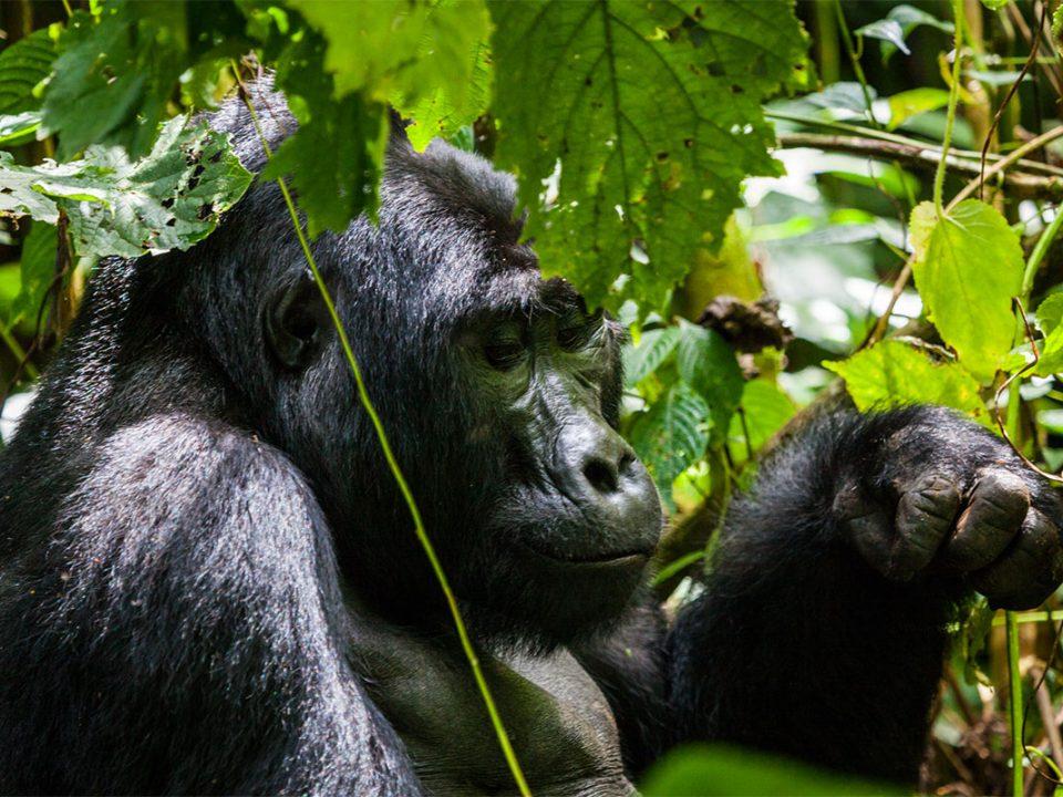 Gorilla tours and safaris
