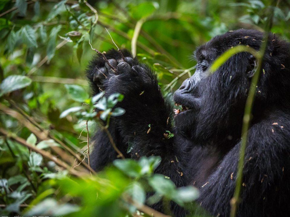 Mgahinga sector for Gorilla trekking