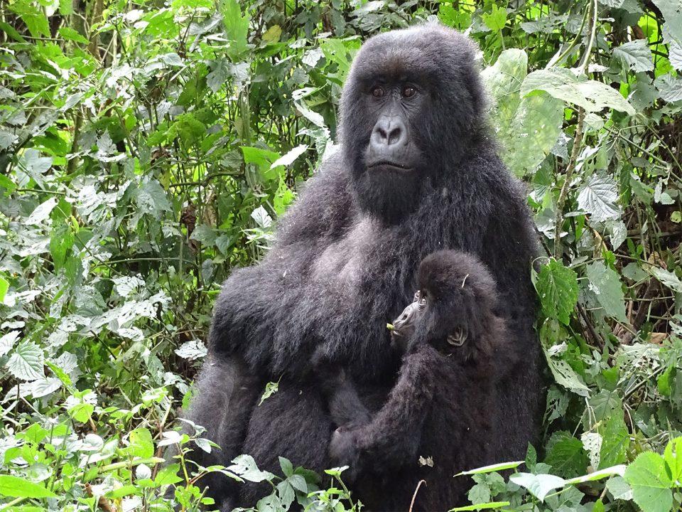 Affordable Gorilla tracking in Rwanda