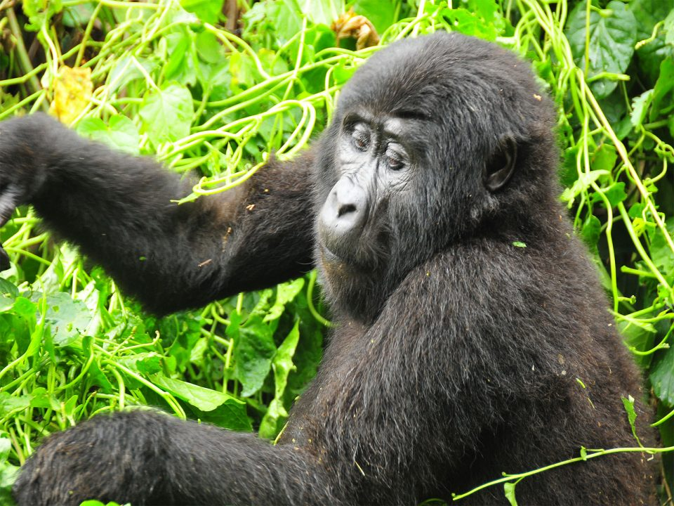 Gorilla tracking for backpackers with scheduled dates