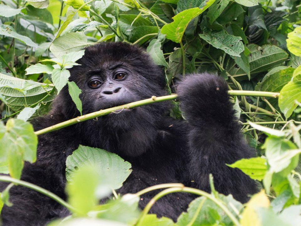 gorilla tracking Bwindi impenetrable National Park