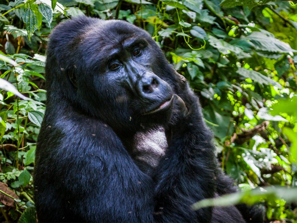 Uganda gorilla tracking offers