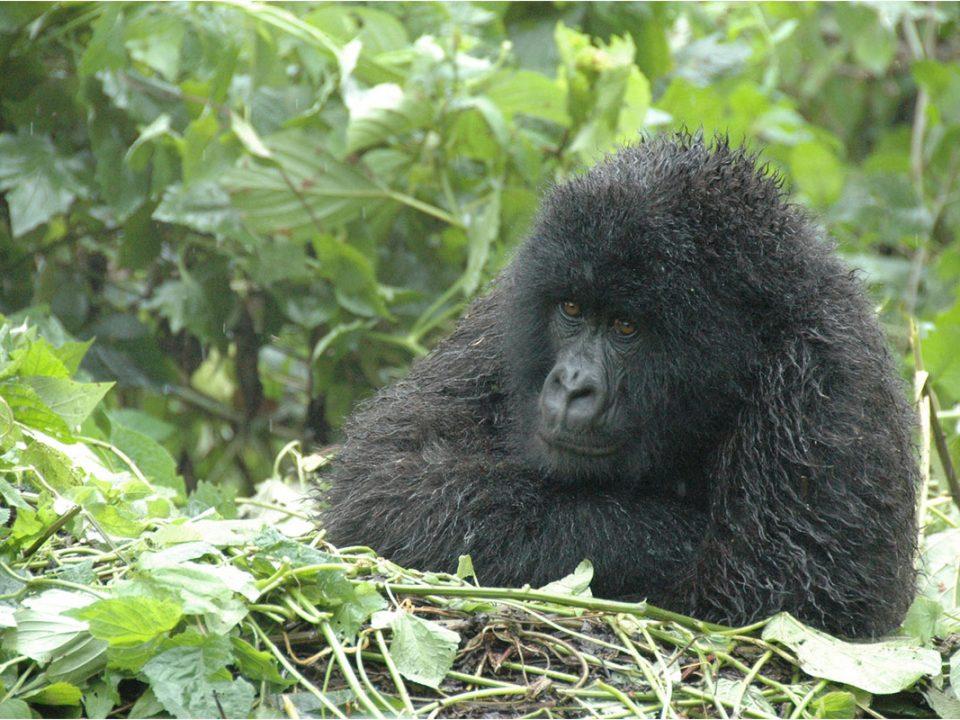 Gorilla tracking safari in April