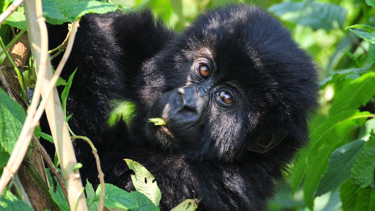 Gorilla tracking safari in August