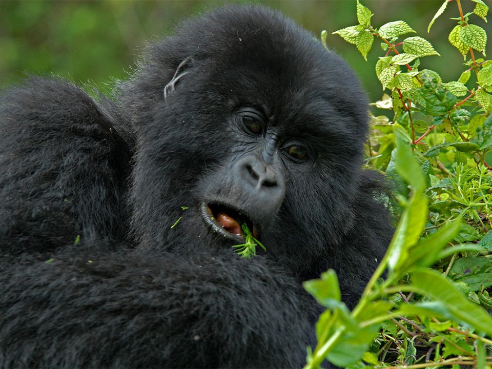 Gorilla tracking safari in January