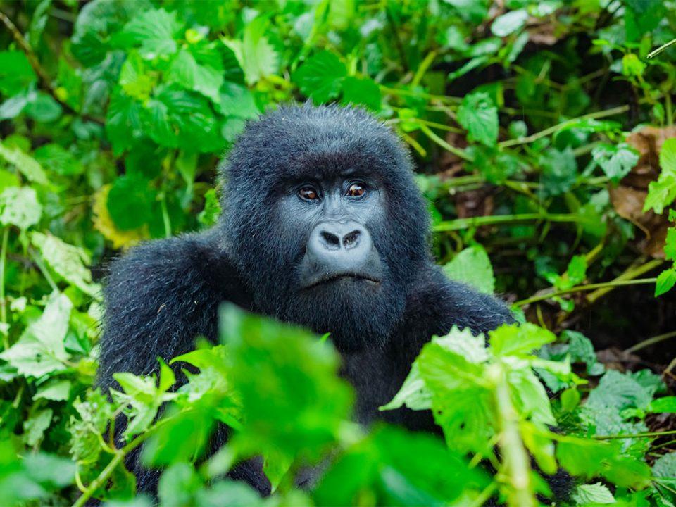 Gorilla tracking safari in July