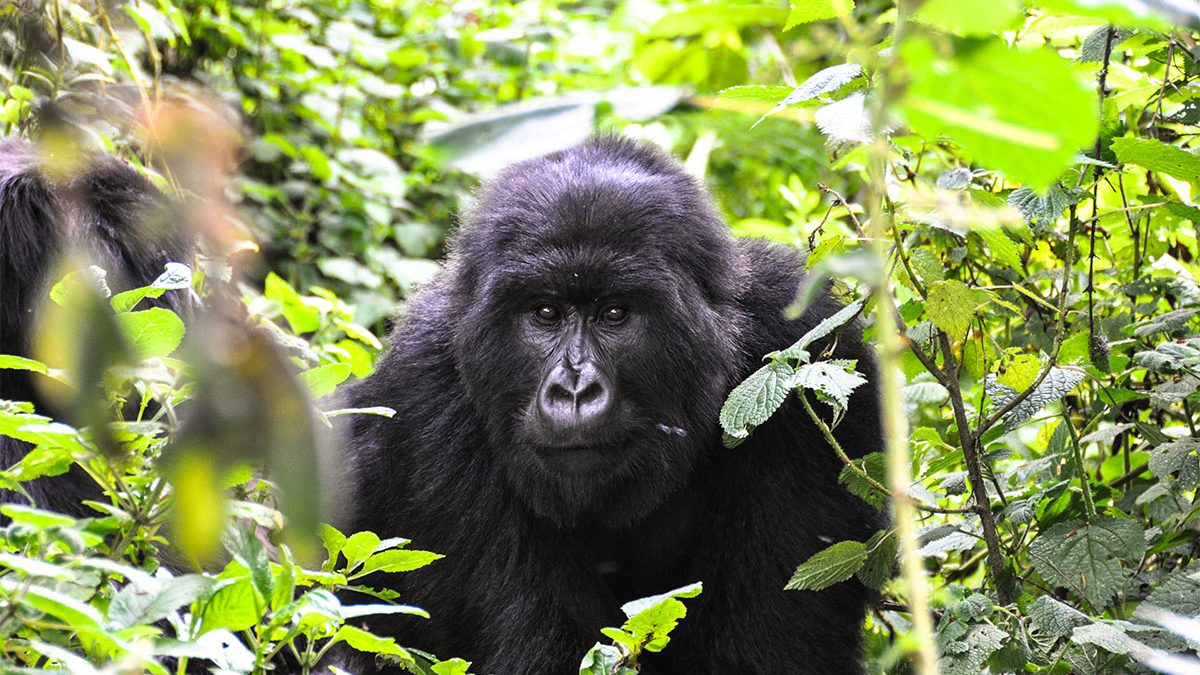 Gorilla tracking safari from Kilimanjaro
