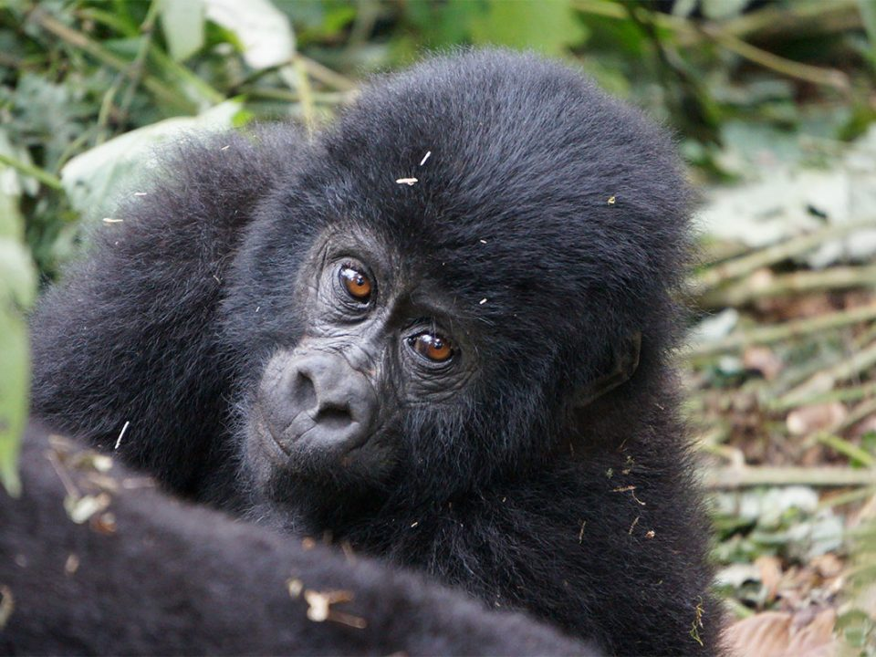 Gorilla tracking seasons in Uganda and Rwanda
