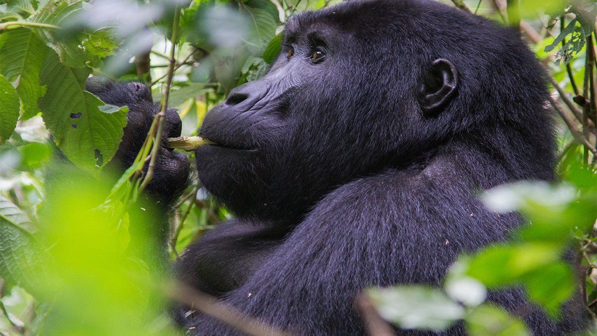 4 days Uganda Mgahinga gorillas and Golden monkey trekking safari