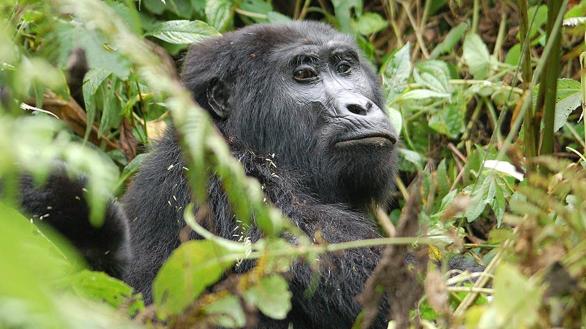 Gorilla trekking January