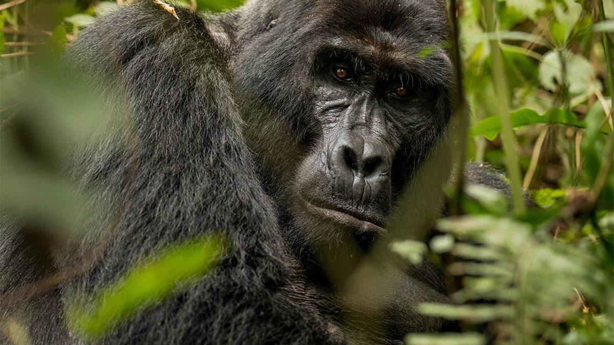 Bwindi gorilla trekking from Botswana