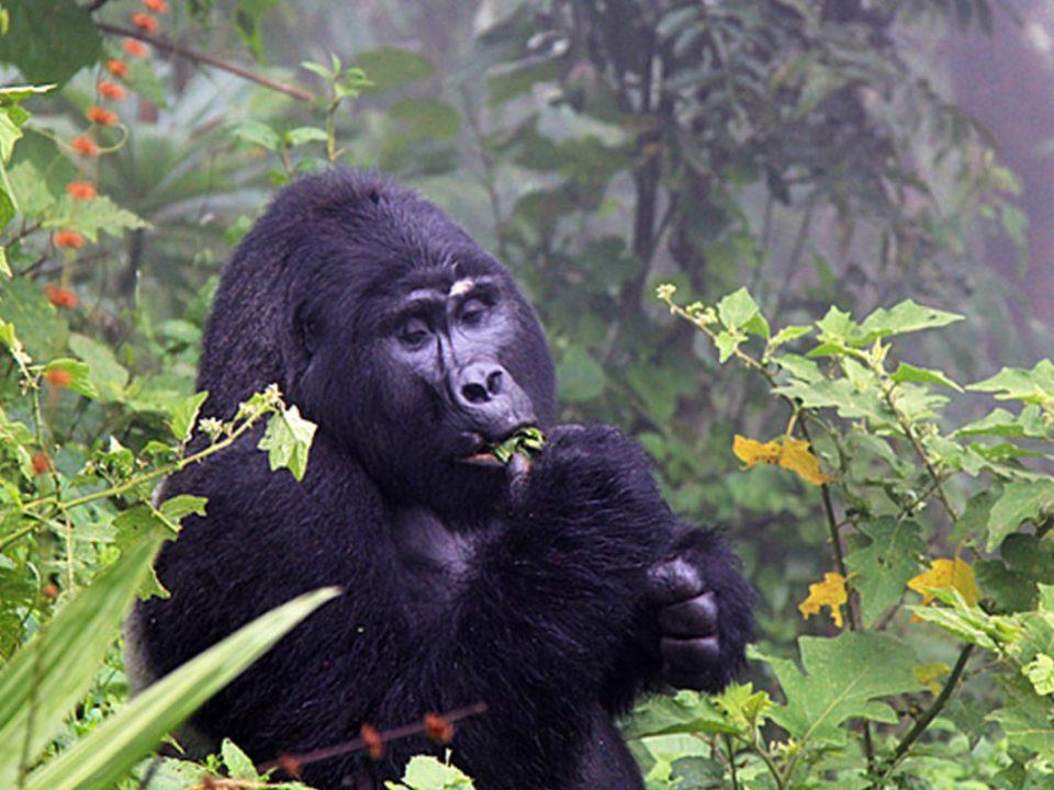 gorilla trekking from Dar-es-salaam